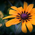 Gloriosa Daisy by Kay Novy