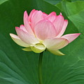Glorious Beauty Of The Lotus by Byron Varvarigos