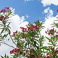 Glorious Fragrant Oleanders Reaching For The Sky by Georgia Mizuleva