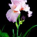 Glorious Pastel Iris by Chholing Taha