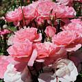 Glorious Pink Roses by Carol Groenen