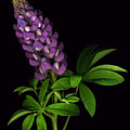 Glorious Purple Lupine by Deborah J Humphries
