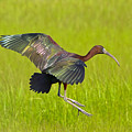 Glossy Ibis by David Freuthal