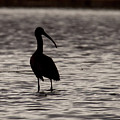 Glossy Ibis by Laurie Pocher