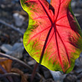 Glowing Coladium Leaf by Douglas Barnett