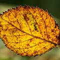 Glowing Fall Leaf by Douglas Barnett
