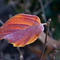 Glowing Leaf by Douglas Barnett