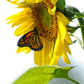 Glowing Monarch On Sunflower by Edward Sobuta