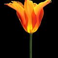 Glowing Orange Tulip Flower by Jennie Marie Schell