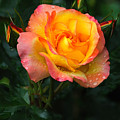 Glowing Rose by Edward Sobuta