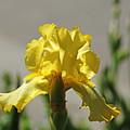 Glowing Yellow Iris by Debbie Oppermann