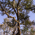 Gnarled Live Oak With Moss by MM Anderson
