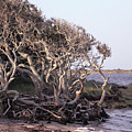 Gnarled Oak Trees by Suzanne Stout