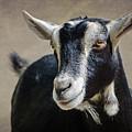 Goat 2 by Susan McMenamin