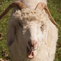 Goat Eating by Diane Schuler