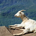 Goat Enjoy The Sun by Arild Lilleboe