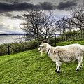 Goat Enjoying The View by Josh Manwaring