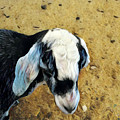 Goat by Eva Vincent