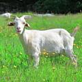 Goat Portrait  by Arild Lilleboe