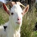 Goat Portrait by Taiche Acrylic Art
