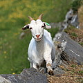 Goat Posing by Arild Lilleboe