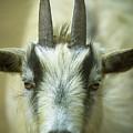Goat by Robert Potts