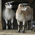 Goat Trio by Jeanette Oberholtzer