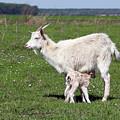 Goat With Just Born Little Goat Spring Scene by Goce Risteski