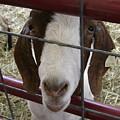 Goat2 by Jo Ellen Seebaugh