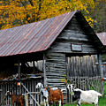 Goats At Rose Briar Farm by Alan Lenk