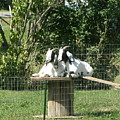 Goats Dreaming Of Trouble by Jeanette Oberholtzer