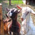 Goats by Felipe Adan Lerma