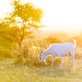 Goats Grazing At Sunset by Tim Hester