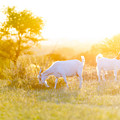 Goats Grazing In Field by Tim Hester
