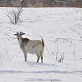 Goats In Snow by Brittany Horton