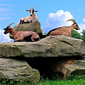 Goats On The Rock by Judy Baird