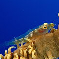 Goby On Wire Coral by Dave Fleetham - Printscapes