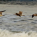 Bar Tailed Godwits by Jeff Townsend