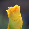 Gold Bud by Susan Herber