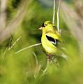 Gold Finch by Greg Nyquist