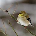 Gold Finch by Jim Johnson