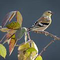 Gold Finch by Larry Pacey