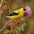 Goldfinch On Thistle by Sandy Keeton
