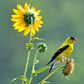 Gold Finch by Todd Hostetter
