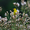 Gold Finches-12 by Robert Pearson
