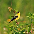 Gold Finches-2 by Robert Pearson