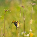 Gold Finches-5 by Robert Pearson