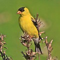 Gold Finches-6 by Robert Pearson