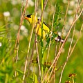 Gold Finches-8 by Robert Pearson