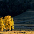 Gold In The Lamar Valley by Larry Ricker